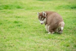 coprofagia perro heces
